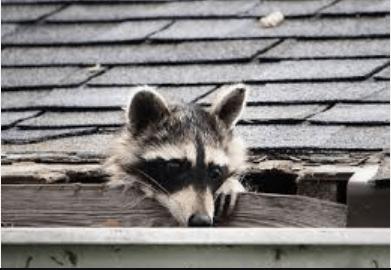 roof damage raccoon
